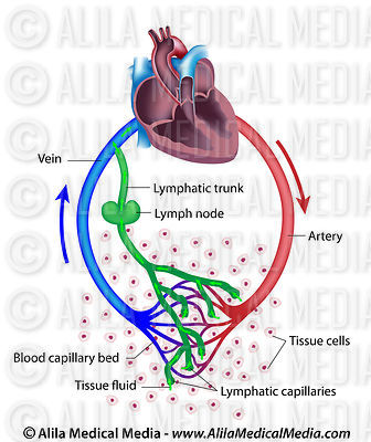 Fluid exchange between the circulatory and the lymphatic systems.