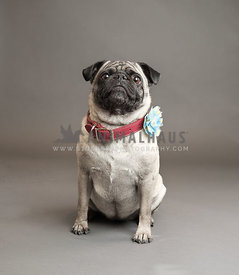 pug in studio with red collar and bow