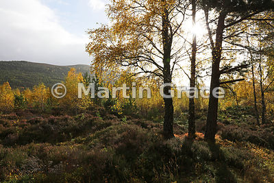 Sunlit autumnal birch trees (Betula sp) in Glen Feshie, with Scots Pines (Pinus sylvestris var scotica) on the hillside behin...