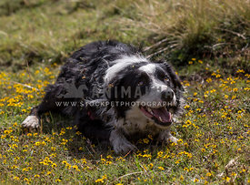 adult border collie lying in a field of yellow flowers