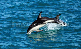 Dusky dolphins jumps in New-Zealand