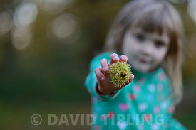 Young girl with Sweet Chestnuts in woodland in autumn Norfolk