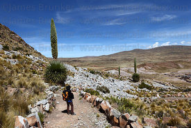 Person looking at Puya raimondii in flower near Comanche , Bolivia