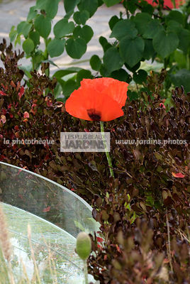 Association : Coprosma repens Pacific Night et Papaver orientale (Pavot d'Orient). Paysagiste : Tim Austen, Dublin, Irlande