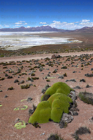 View over Salar de Surire and yareta plant ( Azorella compacta ) , Region XV , Chile