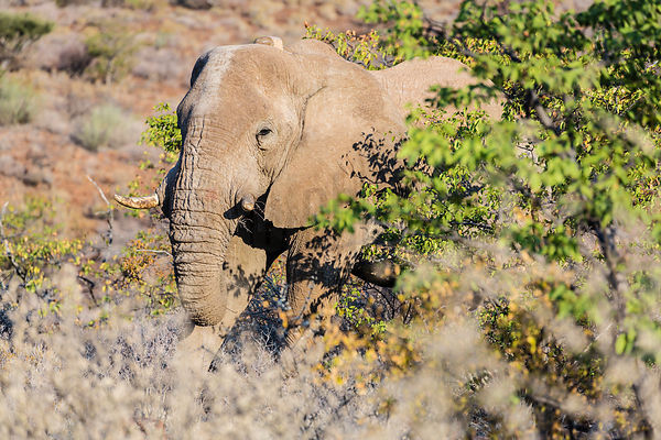 Desert Elephant Fedding on Mopane Leaves