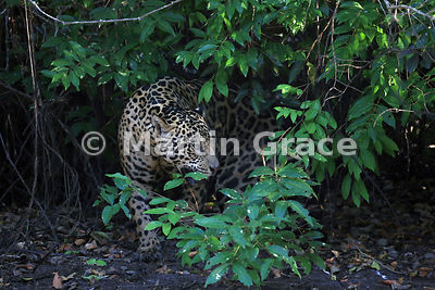 Male Jaguar (Panthera onca) known as Marley lurking in the undergrowth, River Cuiabá, Northern Pantanal, Mato Grosso, Brazil