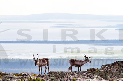 Reindeers on the top of the Pyhä-Nattanen fell