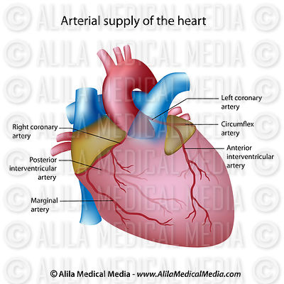 Arterial Supply Of The Heart, labeled diagram.