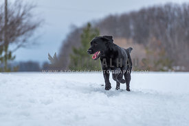 Young black lab dog frolicking in the snow