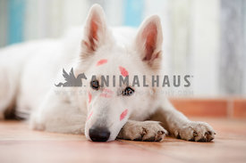 White German Shepherd Dog with lipstick kisses in his face on Valentines Day lying down