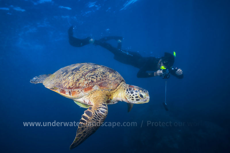 Green Turtle and freediver