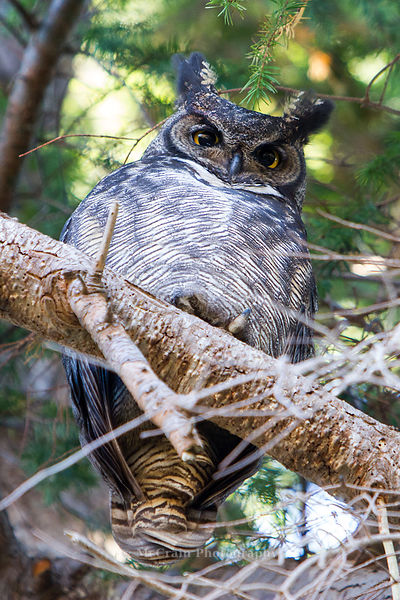 This Great-horned Owl was one of a pair on the main trail around the refuge. It was looking down at all the people looking up...