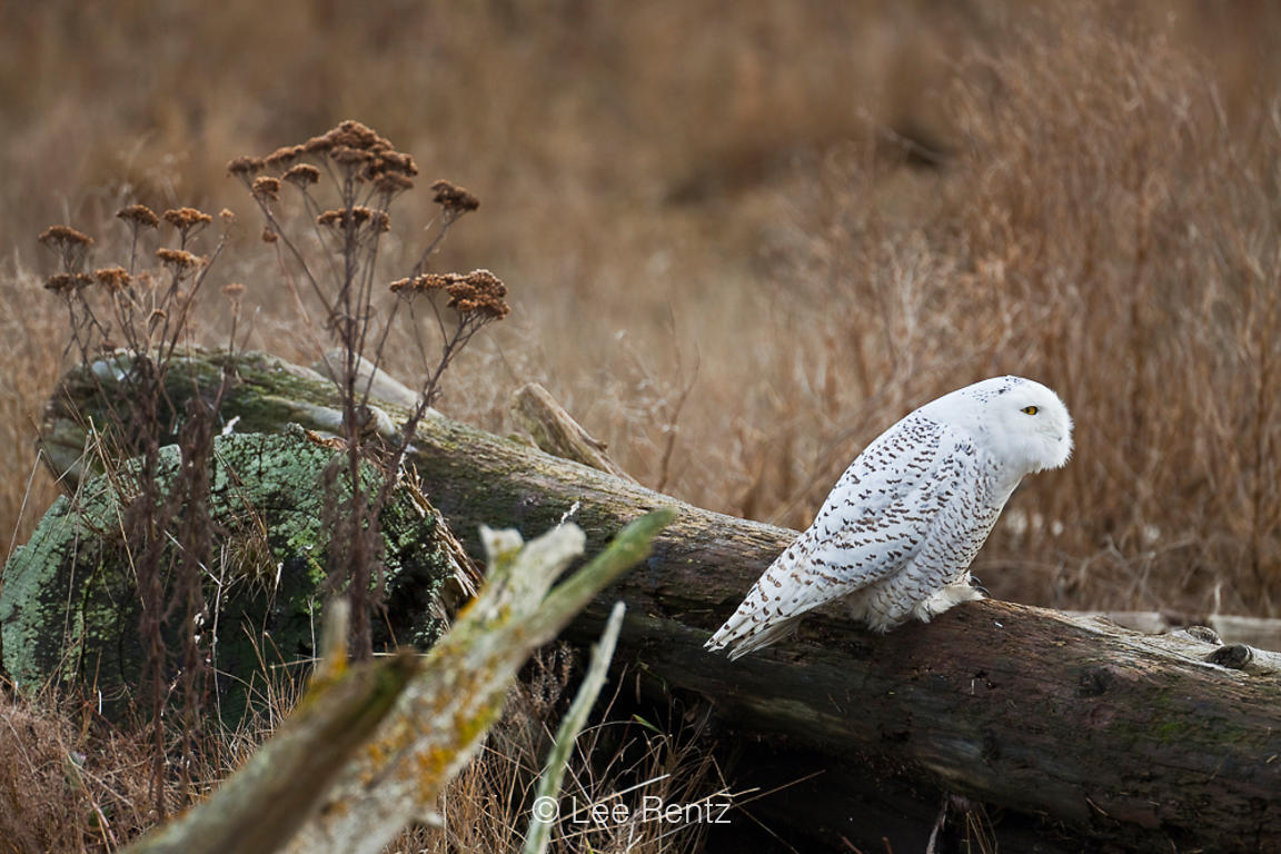 Snowy Owl Alert to Threat of Bald Eagle at Boundary Bay
