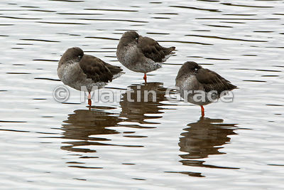 Common Redshank (Tringa totanus) roosting in perfect symmetry, Leighton Moss (RSPB), England