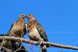 Adult Eared dove (Zenaida auriculata) feeding young
