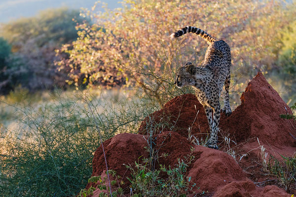 Cheetah on Termite Mound