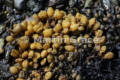 Spiral Wrack (Fucus spiralis), Java Point, Craignure, Isle of Mull, Scotland