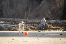 Yellow labradoodle running after a ball on the beach with it's owner in the background