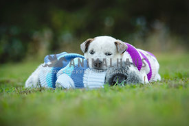 Pair of puppies in jumpers taking a nap