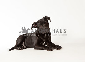 Young black puppy lying down on white background tilting head