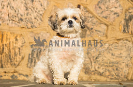 Shih tzu sitting in front of stone wall
