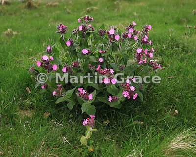 Red Campion (Silene dioica), in Shetland aka Sweet William Is this ssp zetlandica? Ura Firth, Urafirth, Northmavine, Shetland