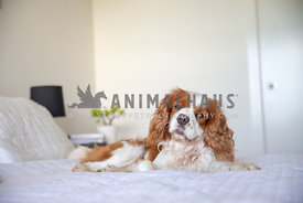 very relaxed looking spaniel on a persons bed