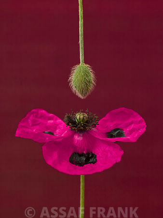 Close-up of pink poppy with flower bud hanging