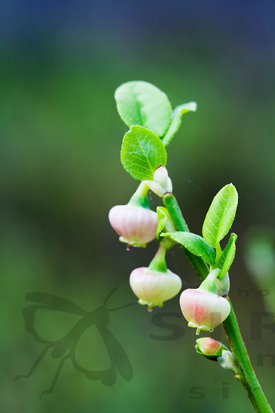 Bilberry in flower
