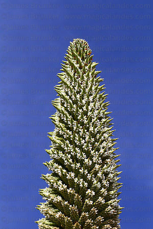 Top of flower spike of flowering Puya raimondii plant