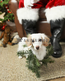 Long haired white doxie at santas feet in studio