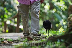 Grey-winged Trumpeter Psophia crepitans tame bird walking through forest with person at Exploramo Lodge Amazon River Iquitos ...