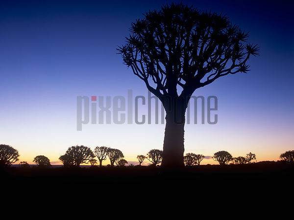 Silhouetted Quiver Tree