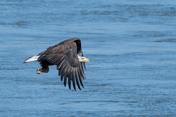 Eagle-Flying-0808