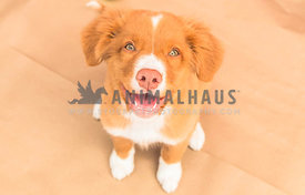 Nova Scotia duck tolling retriever puppy with green eyes