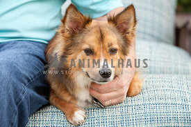 Corgi-Collie-Mixed-Breed-Laying-on-Outdoor-Furniture-with-Man-Petting-Him
