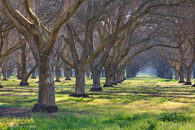 Walnut Orchards #4