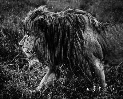 06201-Lion_walking_through_the_grass_Tanzania_2018_Laurent_Baheux