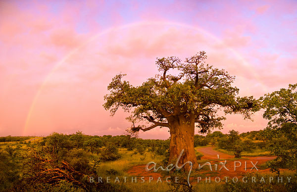 A baobab tree with a rainbow arcing over it in a soft pink cloudy sky at sunrise.