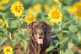 close up of chocolate lab standing in field of sunflowers