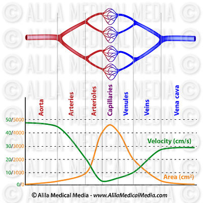 Velocity of blood flow in different vessels