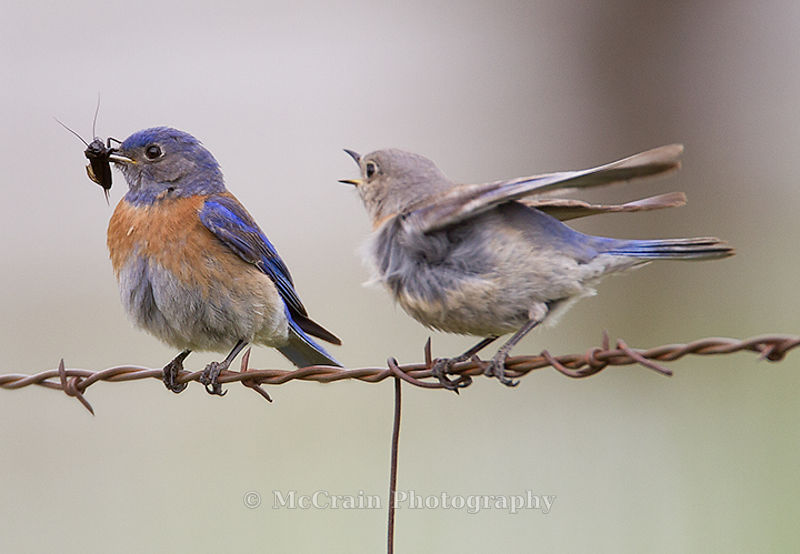 Western Bluebird, Male and Juvenile