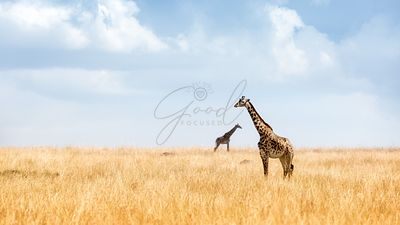 Masai Giraffe in Kenya Plains