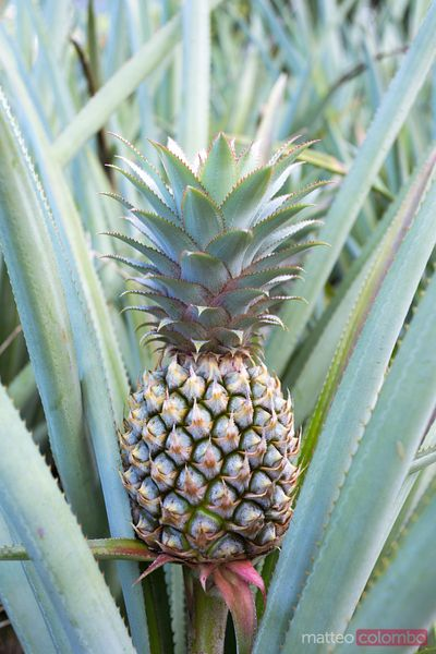 Pineapple fruit on plant