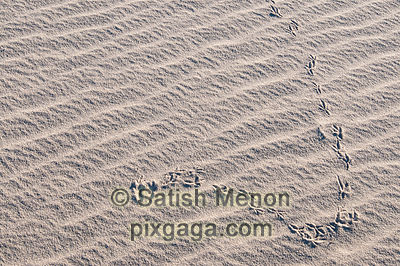 Bird tracks, Eureka Dunes, Death Valley National Park, CA, USA
