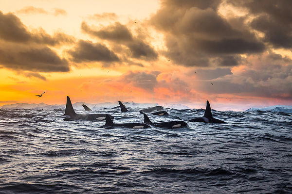 In a fjord of Andenes,  Orcas migrate south along the Norway Sea to hunt hearings that come in the deep fjords to have rest b...
