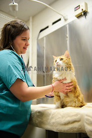 veterinarian examining long haired cat