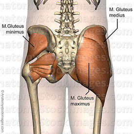 hip-muscles-musculus-gluteal-region-gluteus-maximus-medius-minimus-buttocks-back-skin-names