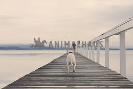 Dog on jetty waiting for owner